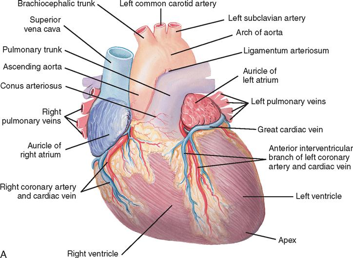 16 Cardiac Surgery Basicmedical Key