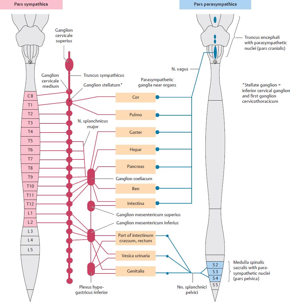 Autonomic Nervous System | Basicmedical Key