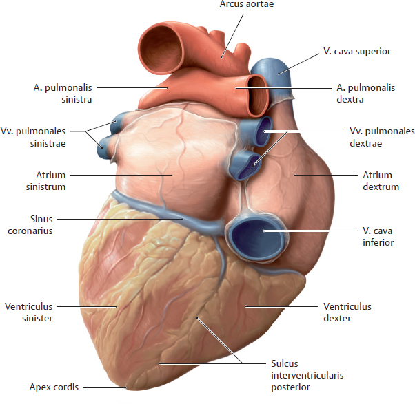 Sulcus interventricularis posterior    Med-koM