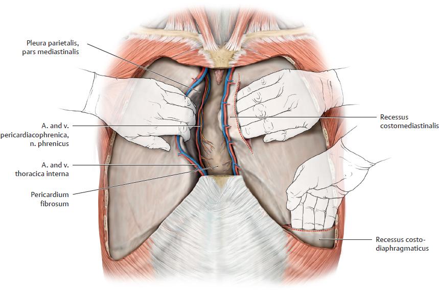 Topographical Anatomy   Basicmedical Key
