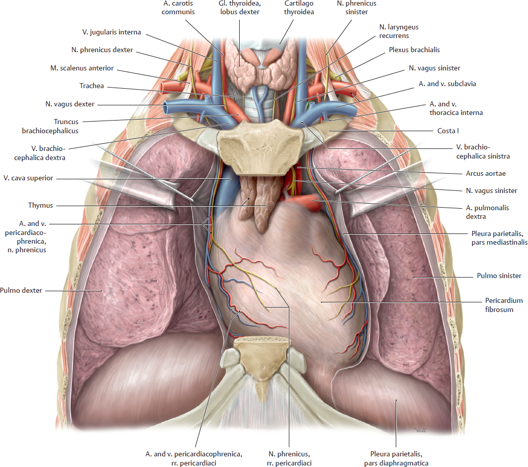Topographical Anatomy | Basicmedical Key