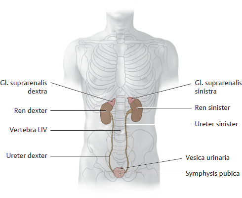 Organs of the urinary system and their neurovasculature 191 overview of the urinary organs the renes in situ ccuart Image collections