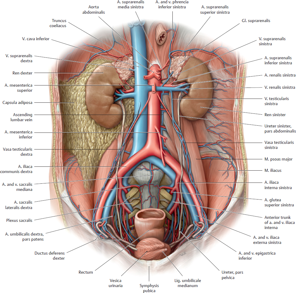 Organs of the Urinary System and their Neurovasculature ...