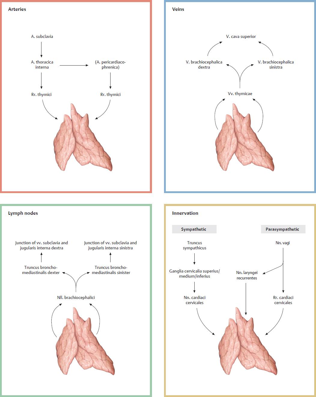 22.1 Thymus | Basicmedical Key