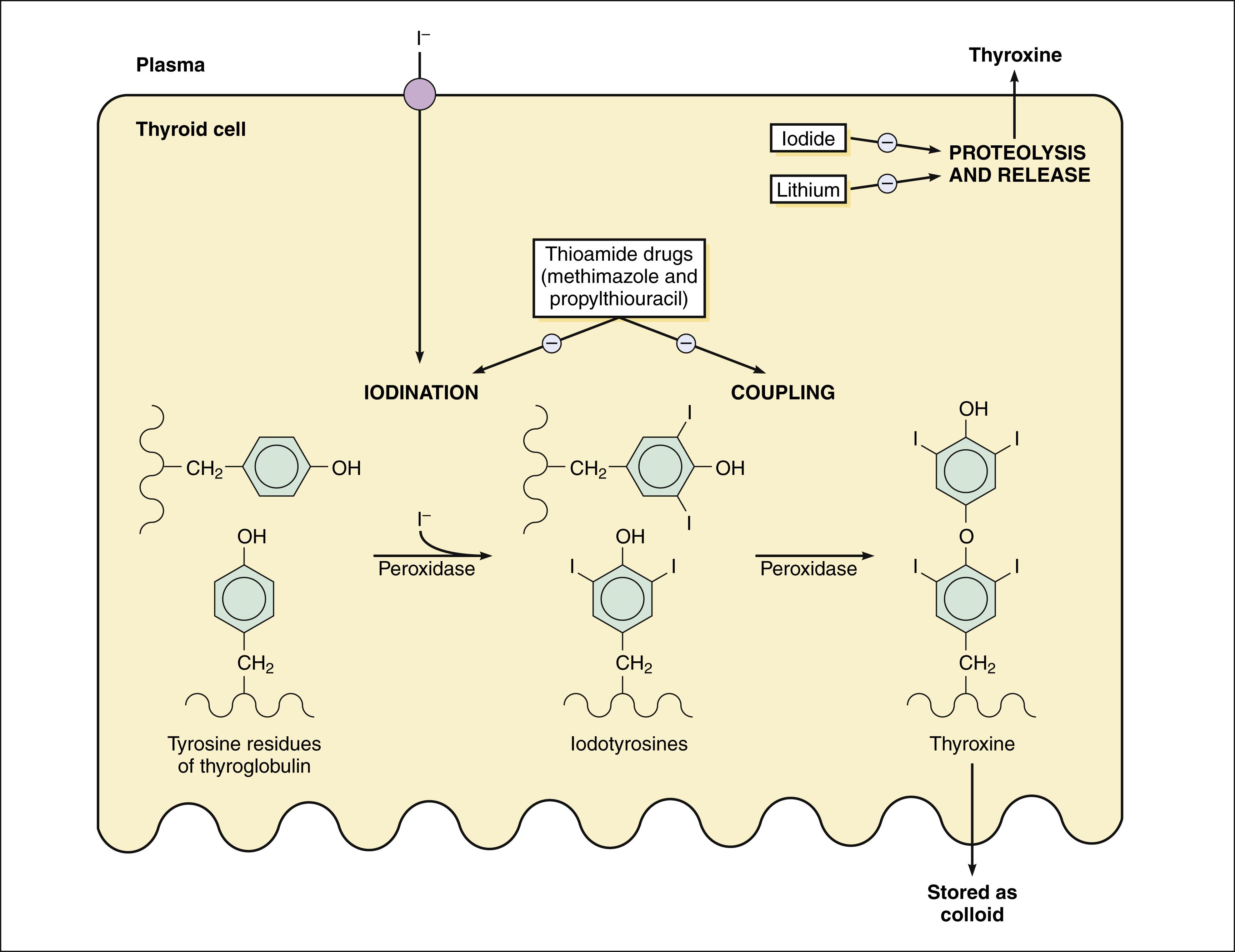 Thyroid Drugs Basicmedical Key