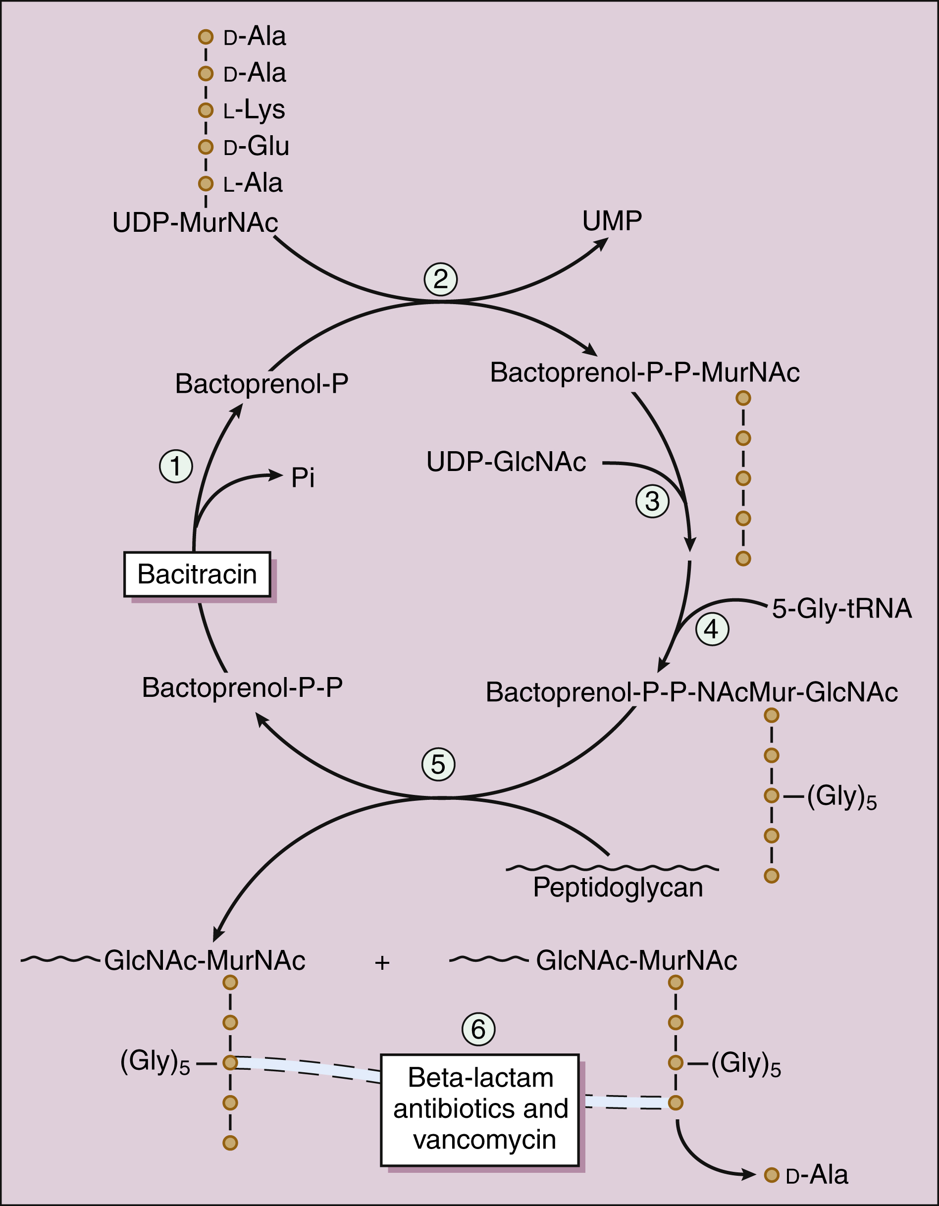 Inhibitors of Bacterial Cell Wall Synthesis | Basicmedical Key