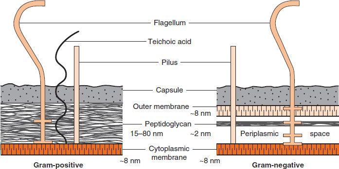Structure of bacterial cells basicmedical key figure 24 cell walls of gram positive and gram negative bacteria note that the peptidoglycan in gram positive bacteria is much thicker than in ccuart Gallery