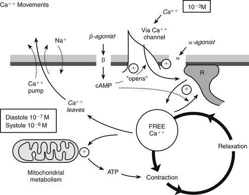 Calcium Channel Blockers | Basicmedical Key