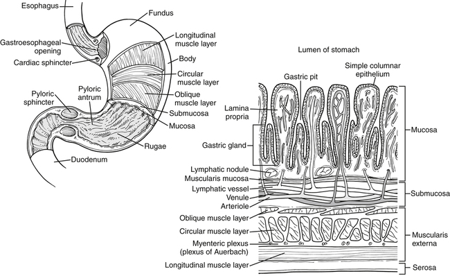 overview of digestion and absorption