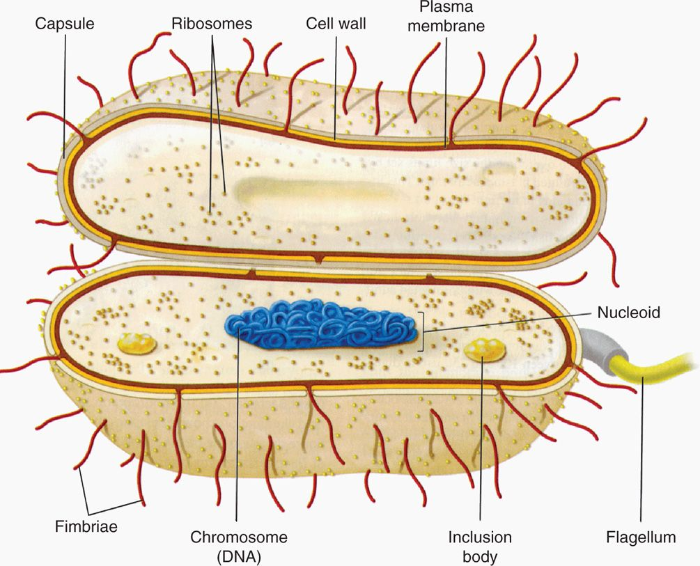 Cell structure of bacteria with diagram - Images