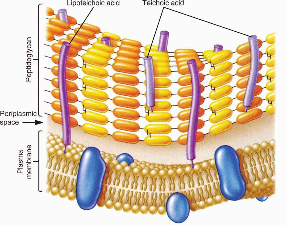 21 Bacteria—Basic Concepts   Basicmedical Key  Lipoteichoic Acid