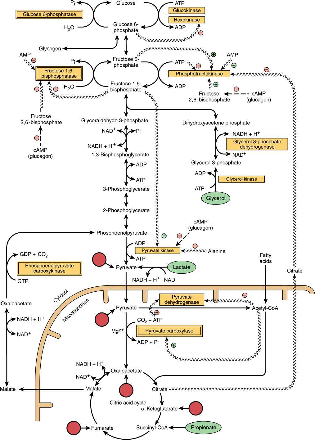 Gluconeogenesis the control of blood glucose basicmedical key figure 201 major pathways and regulation of gluconeogenesis and glycolysis in the liver entry points of glucogenic amino acids after transamination are pooptronica Images