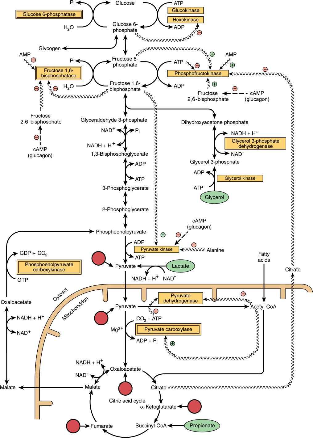 gluconeogenesis  u0026 the control of blood glucose