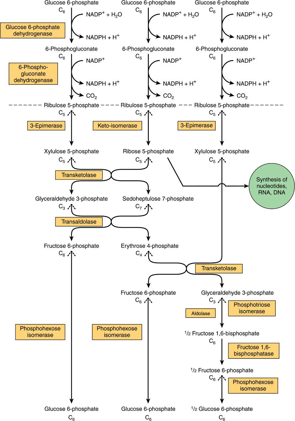 The pentose phosphate pathway other pathways of hexose metabolism figure 211 flow chart of pentose phosphate pathway and its connections with the pathway of glycolysis the full pathway as indicated consists of three nvjuhfo Image collections