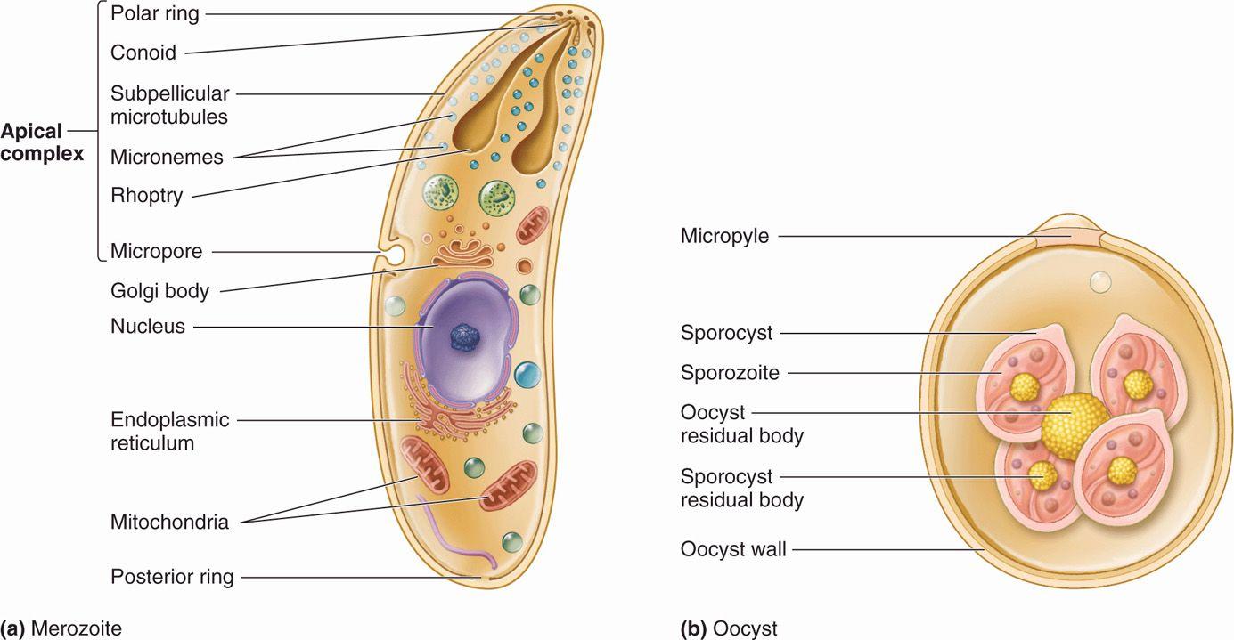 51 Apicomplexa and Microsporidia   Basicmedical Key