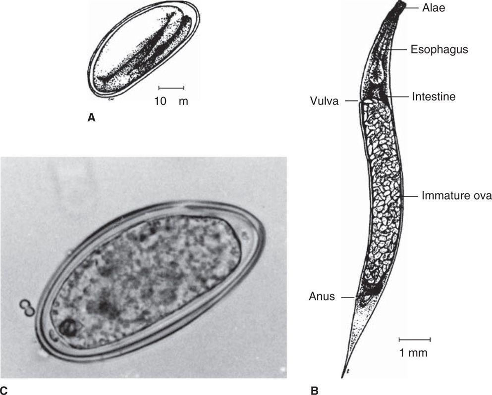 enterobius vermicularis structure