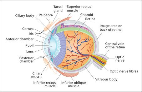 The ears eyes nose and throat basicmedical key figure 131 the structure of the eye ccuart Choice Image