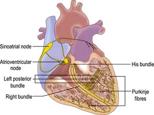 Cardiovascular disease basicmedical key figure 141 the conducting system of the heart ccuart Images