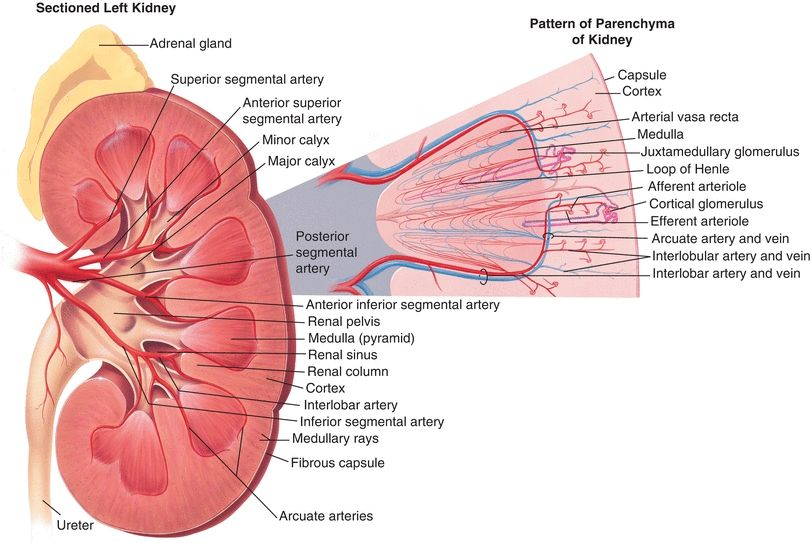 Renal Function Basicmedical Key