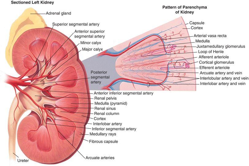 Renal Function | Basicmedical Key
