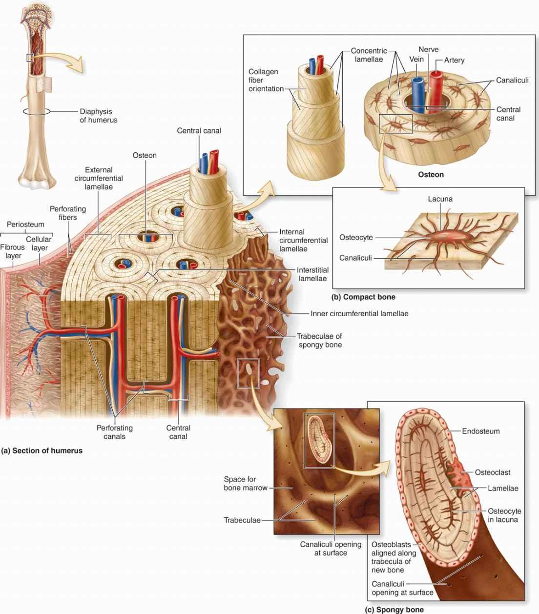 Bone | Basicmedical Key