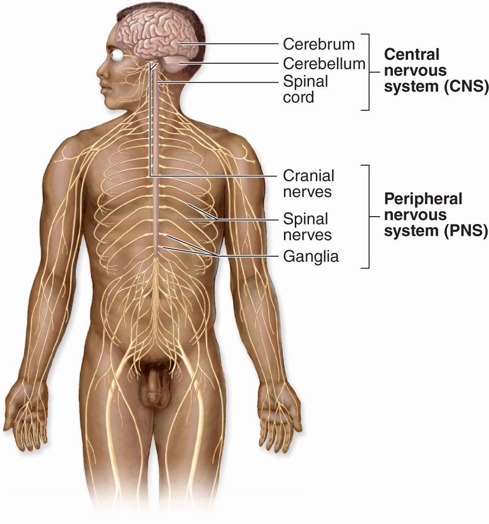 Nerve Tissue & the Nervous System | Basicmedical Key
