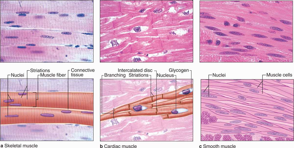 Muscle Tissue Basicmedical Key