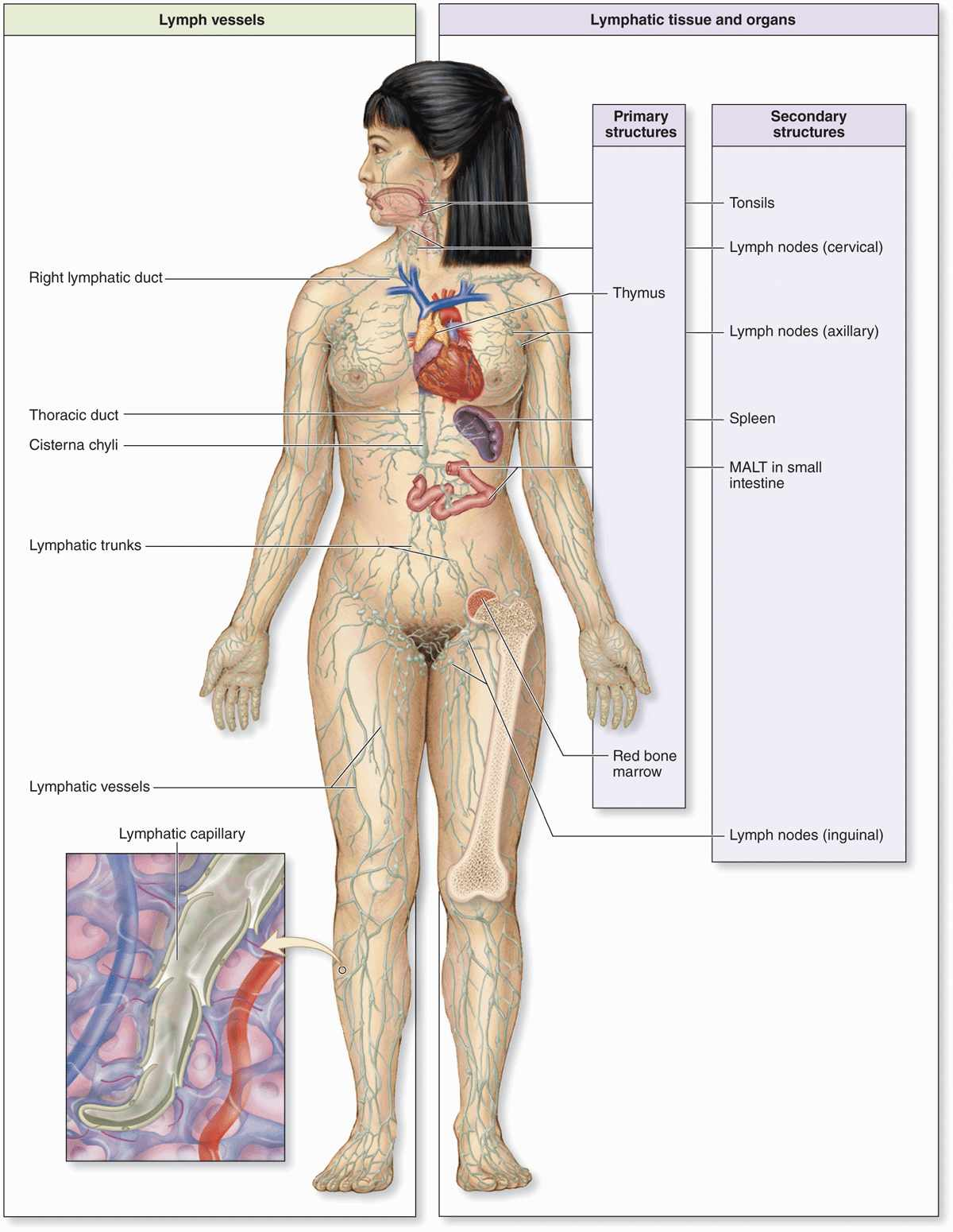 an overview of the immune system in anatomy of the human body The human body systems system function diagram major organs interactions- working with other 3 w/immune – produce white blood cells 4 w/circulatory and.