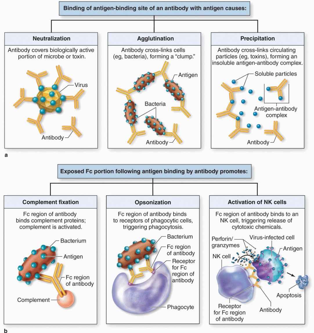 The Immune System & Lymphoid Organs