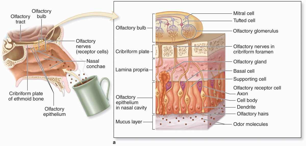 The Respiratory System Basicmedical Key