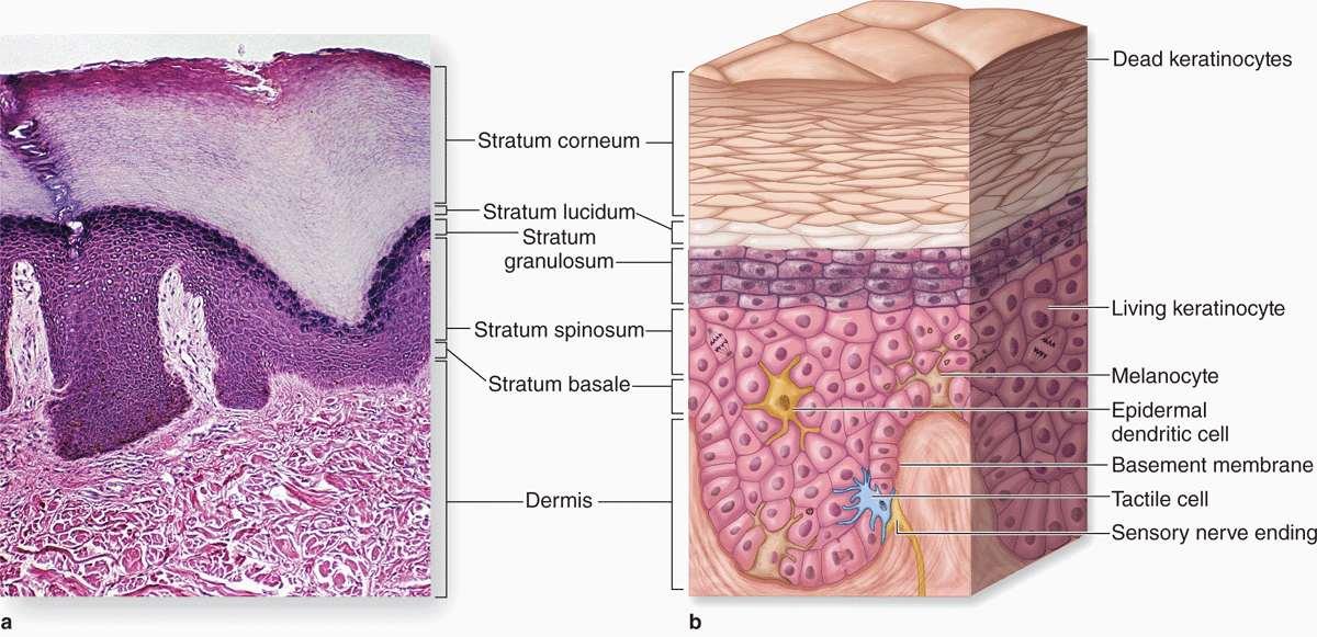 skin | basicmedical key, Human Body