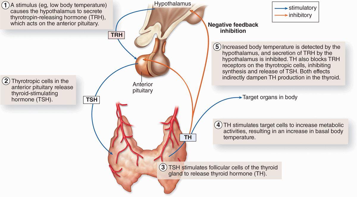Endocrine Glands | Basicmedical Key