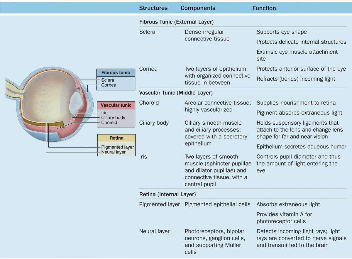 The Eye & Ear: Special Sense Organs | Basicmedical Key