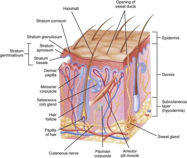 Diseases And Conditions Of The Integumentary System Basicmedical Key