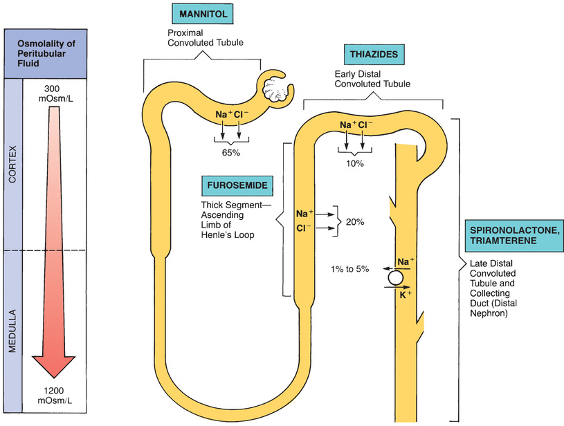 Diuretics basicmedical key figure 352 schematic diagram of a nephron showing sites of sodium absorption and diuretic action the percentages indicate how much of the filtered sodium ccuart Images